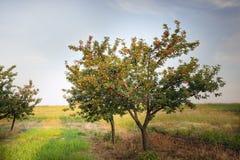 Вишни на дереве сада Стоковое Фото