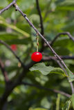 Вишни на дереве Стоковая Фотография