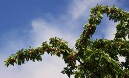 Вишни на дереве Стоковые Фотографии RF