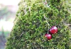Вишни на предпосылке зеленого мха в лесе с капельками воды Стоковые Изображения
