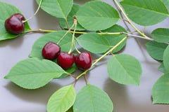 4 вишни на серой предпосылке Стоковое фото RF