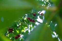 вишни одна белизна плиты сладостная Стоковые Фото