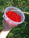 вишни прокишут Стоковое Изображение RF
