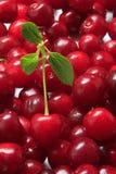 вишни прокишут Стоковые Фото