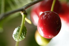 вишни прокишут Стоковые Изображения