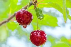 2 вишни с падениями воды в дожде Стоковая Фотография