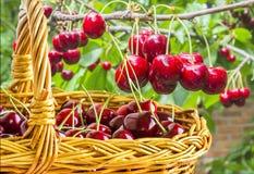 Вишни ягод сладостные в корзине в саде Стоковое Изображение