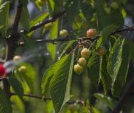Вишни ягод с падениями Стоковые Изображения RF