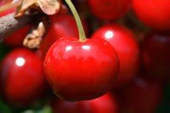 вишни Стоковые Фото