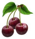 вишни 3 пука Стоковые Фото
