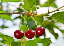 вишни 3 Стоковые Изображения