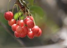 вишни Стоковые Фотографии RF