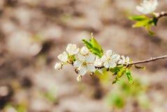 Вишня весны цветя Стоковое Фото
