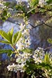вишня ветви птицы Стоковые Изображения