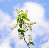 вишня ветви цветения птицы Стоковые Фото