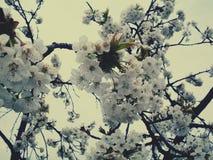 Вишня в цветении стоковое изображение rf