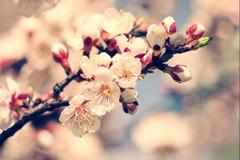 Вишня зацветая, предпосылки весны красоты Стоковые Фото