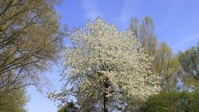 Вишня зацветая с молодыми листьями Стоковое фото RF
