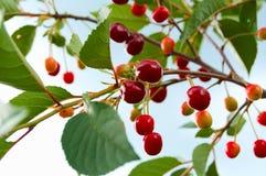 Вишня - красная ягода на ветви стоковая фотография rf