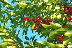 Вишня на дереве Стоковые Изображения