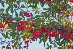 Вишня на дереве Стоковое Изображение RF