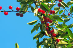 Вишня на дереве Стоковые Фото