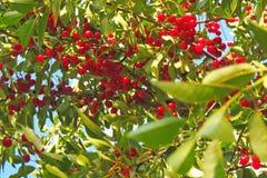 Вишня на дереве Стоковая Фотография RF