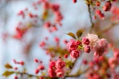 вишня одичалая Стоковые Фото