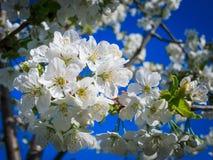 вишня предпосылки создавая цветя радостную весну настроения Стоковые Изображения