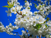 вишня предпосылки создавая цветя радостную весну настроения Стоковая Фотография RF
