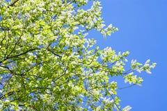 Вишня птицы разветвляет в белых цветках цветя весна Стоковое фото RF