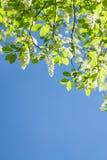 Вишня птицы разветвляет в белых цветках цветя весна Стоковая Фотография RF