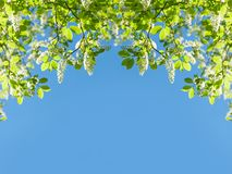 Вишня птицы разветвляет в белых цветках цветя весна Стоковые Изображения