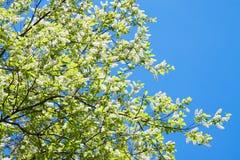 Вишня птицы разветвляет в цветении белых цветков весной Стоковая Фотография