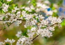 Вишня разветвляет белые цветки Стоковое фото RF