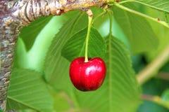 вишня свежая определяет Стоковое Изображение RF