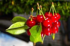 вишня свежая Стоковое Изображение