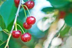 вишня свежая Стоковые Фотографии RF