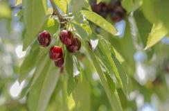 вишня свежая Стоковые Изображения