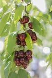 вишня свежая Стоковые Фото