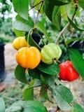 Вишня Суринама радуги Стоковые Фото