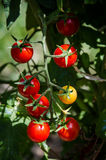 Вишня томатов Стоковое Изображение