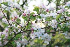 вишня цветений стоковые фото