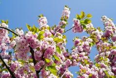 вишня цветений Стоковые Изображения