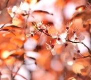 вишня цветений Стоковые Фотографии RF