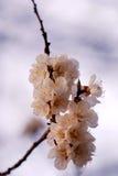 вишня цветений стоковые изображения rf