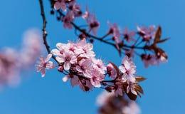 вишня 2 цветений Стоковые Фотографии RF