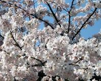 вишня цветений Стоковое Изображение