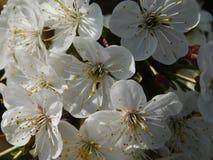 Вишня цветения любовника весны Стоковое Изображение RF