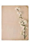 вишня цветения одичалая Стоковая Фотография RF
